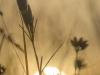 Klokjesgentiaan - Gentiana pneumonanthe