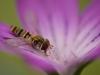 Pyjamazweefvlieg - Episyrphus balteatus
