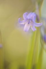 Wilde Hyacint